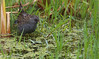 Australian Crake - Porzana fluminea (Aphelocoma_) Tags: 2016 australia australiancrake canonef300mmf28lisiiusmlens canoneos5dmarkiii canonextenderef14xii crake gruiformes image january nature photo photograph picture pointwilson porzana porzanafluminea rail rallid rallidae victoria westerntreatmentplant wildlife animal bird summer