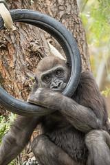 Joanne (ToddLahman) Tags: joanne westernlowlandgorilla gorilla sandiegozoosafaripark safaripark canon7dmkii canon canon100400 mammal tireswing swing tree peppertree escondido