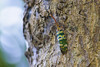 lantern bug (arcibald) Tags: lanternbug lanternfly pyropscandelaria insect laos laopdr luangnamtha fulgoridae