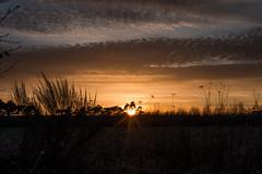 Golden light (IV) (Ir3nicus) Tags: nikond750 dslr issum nordrheinwestfalen deutschland fullframe outdoor 50mm afs50mm14g prime sunset sun sunrays sonnenuntergang sonne starburst sunstars sonnenstrahlen sky clouds himmel wolken weeds fields countryside trees