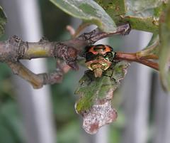 Troilus luridus nymph (rockwolf) Tags: troilusluridus asopinae bronzeshieldbug punaise pentatomidae hemiptera heteroptera insect crudgington shropshire rockwolf