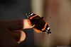 Beauty on my finger (Nicholas Rossetto) Tags: farfalla butterfly dito finger vanessa atalanta lepidottero moth nikon d7100 nicholas rossetto 18140mm