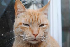 Cat (wilsonarcp) Tags: chile pet male beautiful animal cat nikon rude gato mascota mejillones antofagasta profundidaddecampo