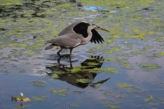 Heron (Mabacam) Tags: reflection bird london heron nature water pose eppingforest fishing pond waterbird 2015 hollowpond