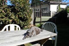 Another thing about Josie... (Matilda&Charlie&Josie ~ MCJ) Tags: cat josie rescuecat 9yo greybluecreamtortoiseshell