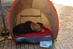 2008 Francia (antosti) Tags: cane labrador inverno pioggia francia freddo sarlat tenda pavimentazione cuccia bagnato coperte