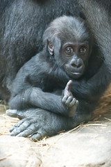 Baby Gorilla Curious (Eric Kilby) Tags: park baby animal zoo franklin gorilla massachusetts ape primate aziza westernlowland