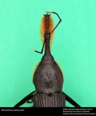 Rhinostomus barbirostris (insectsunlocked) Tags: weevil coleoptera curculionidae focusstack tropicalinsect rhinostomusbarbirostris