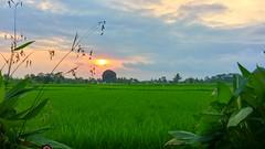 Les rizières devant notre terrasse