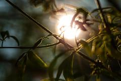 Breakthrough (Steven Green Photography) Tags: light sun sunlight plant abstract green nature silhouette backlight garden daylight bright outdoor contrejour hemp chastetree vitex