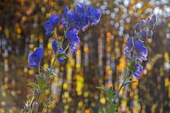 Aconite / oktoberstormhatt / oktoberhjem (Ingunn Eriksen) Tags: flower aconite oktoberstormhatt oktoberhjem
