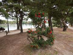 P1580649 (Rambalac) Tags: water japan pond asia eatable вода пруд япония азия lumixgh4 съедобное