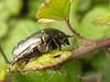 Cetonia sp (rockwolf) Tags: france insect chafer charente coleoptera 2015 scarabaeidae rockwolf aubeterresurdronne flowerchafer cetoniasp