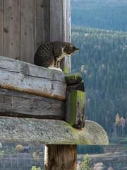 Norway (Pieter Mooij) Tags: norway cat norge kat chat norwegen fjord poes noorwegen