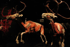 Science World - October 15, 2015 (rieserrano) Tags: caribou bodyworlds plastination