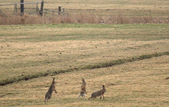 hares [explored] (carol_malky) Tags: playing animals wildlife hares explored