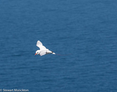 Red-tailed Tropic Bird (Stewart M) Tags: australia nsw newsouthwales lordhoweisland 2015 malabarhill lhi redtailedtropicbird hli