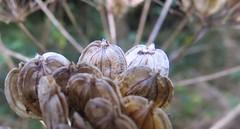 8142 Umbelliferae plant seeds (Andy - Dog gone!) Tags: cymru seeds seedhead ccc hhh uuu sss ppp cowparsnip hogweed umbelliferae llyncefni ynysmon 20151120