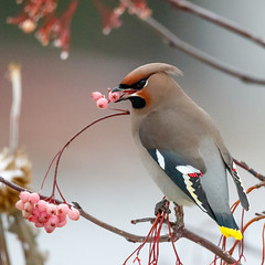 Waxwing (tods_photo) Tags: winter bird birds canon berries bokeh wildlife hungry colourful waxwing 500px ifttt