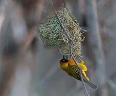 Lesser masked weaver (Lluniau Clog) Tags: nest kenya weaverbird greatriftvalley ploceusintermedius lessermaskedweaver lakebaringo