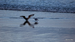X marks the spot (mootzie) Tags: birds gulls feathers wings wingspan beach sea crab sand aberdeen
