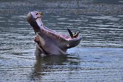 Hippo (Sumarie Slabber) Tags: pilanesberg hippo mouth water nature sumarieslabber southafrica wildlife animal wild nikon outdoor mammal d750 blue safari inexplore