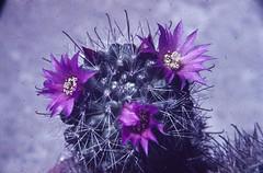 Mammillaria zeilmanniana Freudenstadt Mai 1963 (Martin Theodor) Tags: mammillaria zeilmanniana