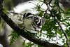 Black and White Warbler (Explored) (soupie1441) Tags: kearney ontario canada nikon d7200 nikkor 200500mm black white warbler nature wild life wildlife cottage