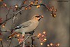 Hungry Bohemian Waxwing (Daniel Cadieux) Tags: waxwing bohemianwaxwing berries autumn fall hungry eat eating ottawa