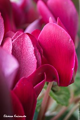 Flowers on balcony (Eleanna Kounoupa) Tags: ελλάδα αθήνα greece athens λουλούδια κόκκινο flowers red κυκλάμινο cyclamen closeup