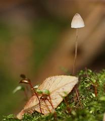 2016_11_0433 (petermit2) Tags: mushroom fungus fungi toadstool pottericcarr potteric doncaster southyorkshire yorkshirewildlifetrust wildlifetrust ywt autumn bonnetmushroom