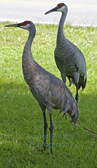 Sandhill Cranes (LaurenAshley-Photography) Tags: birds bird nature wildlife cranes crane sandhillcranes sandhillcrane animal animals photography nikon