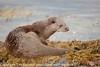 European Otter (Lutra lutra) 11 Dec-16-29081 (tim stenton www.TimtheWhale.com) Tags: commonotter eurasianotter europeanotter landmammal loch lutralutra lutrinae mammal mustelid notcaptive otter scotland west westcoast wild saltwater