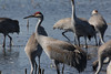 Sandhill Cranes at Paynes Prairie (Jitney58) Tags: wildhorses cranes birds sandhillcranes