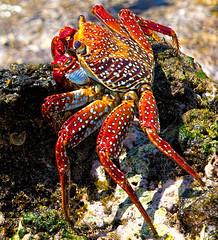 Sally Lightfoot Crab (Stephen Bowden) Tags: crab crustaceon sally lightfoot ascension island macro closeup