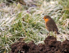Robin on mole hill (Ultimate Eeyore 2) Tags: stanford break bird oxfordshire nature wildlife robin nikon d500 sigma