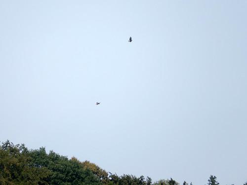 Buzzards above Bad Schandau -- photo 2