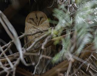 Barn Owl, Female