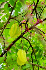 Star fruit, La Digue (ngari.norway) Tags: seychelles travel ngari photography photos indianocean ladigueisland