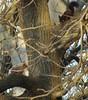 scoiattolo comune e scoiattolo nero, european squirrel and black meridional variety squirrel (Fabio.Buoso) Tags: sciurusvulgare scoiattoloeuropeo europeansquirrel valletagli caorle venezia italia