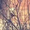 whitethroat in sumac (amy buxton) Tags: amybuxton animals birds fragrantsumac natural nature winter whitethroatedsparrow garden sparrow