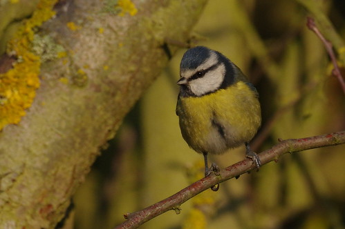 IMGP2278 Blue Tit, Fen Drayton Lakes, December 2016