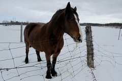 A beautiful mare named Rosie at the McWatt Family Farms in Ramsayville (Ottawa), Ontario (Ullysses) Tags: mcwattfamilyfarms mare horse cheval ramsayville ottawa ontario canada winter hiver farm ferme rosie