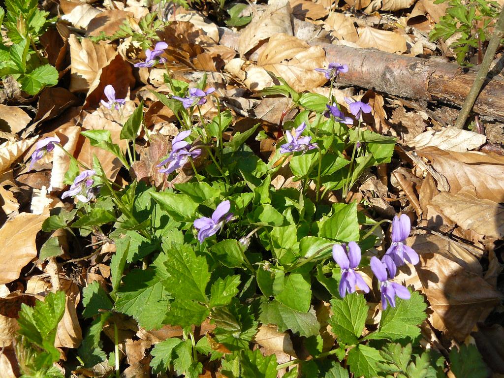 Viola reichenbachiana5