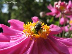 Pink world (✿ Graça Vargas ✿) Tags: flower graçavargas ©2017graçavargasallrightsreserved pink 8003170117 ñflowers