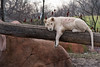 White Lion 137 (cypher40k Photography) Tags: bigcat cat color colour feline lion nikon toronto torontozoo whitelion zoo