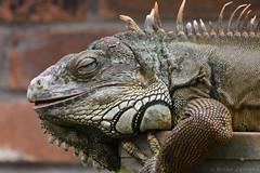 Green Iguana (Bri_J) Tags: tropicalbutterflyhouse northanston sheffield southyorkshire uk yorkshire butterflyhouse nikon d7200 greeniguana iguana reptile iguanaiguana sigma150600mm