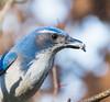 Snacking it. (Omygodtom) Tags: wildlife wild bokeh bird scrubjay senery setting nikkor scenic scene d7100 nikon nature nikon70300mmvrlens outdoors oaksbottom