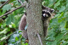 Raccoon on Mont-Royal