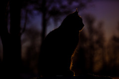 Posing silhouette (CecilieSonstebyPhotography) Tags: 7monthsold canon canon5dmarkiii eurasianlynx gaupe langedrag lynx markiii norway animal backlight backlit bokeh cat catfamily closeup daylight edgelighting motlys portrait rock silhouette sky sunlight tree trees winter